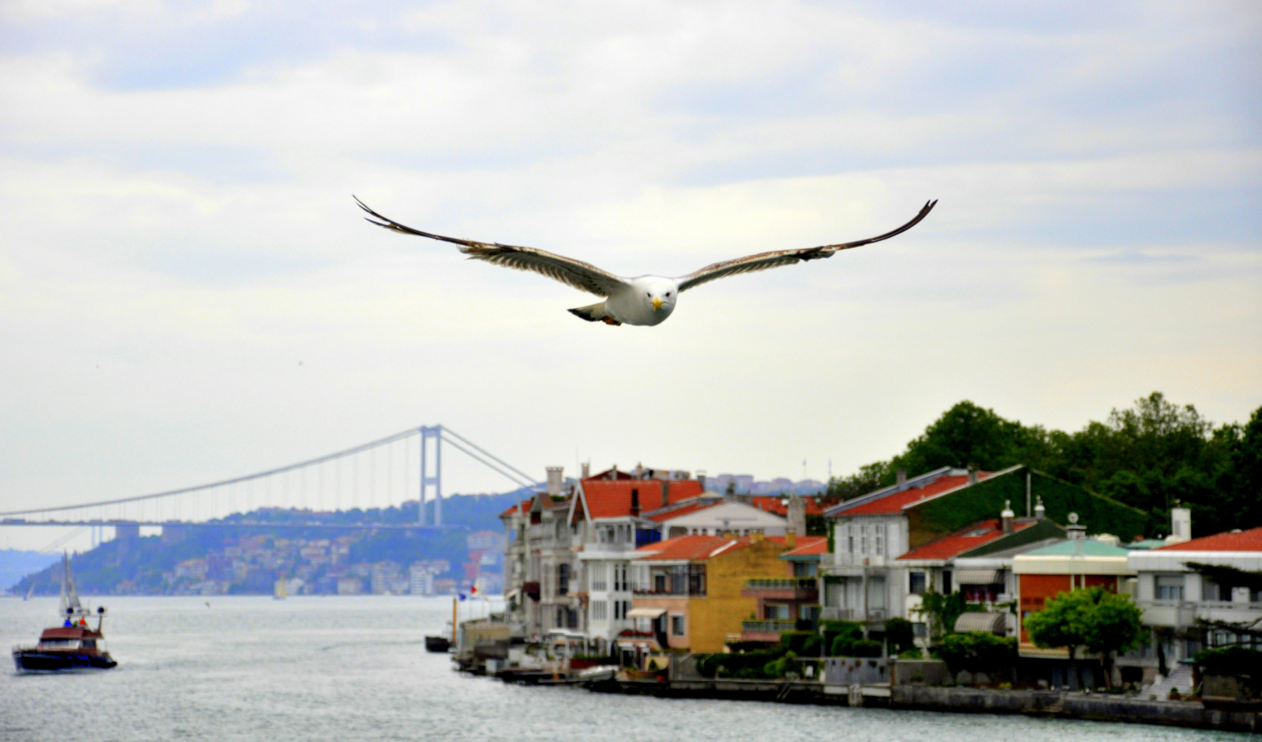 Seagull Over The Bosphorus , Istanbul.